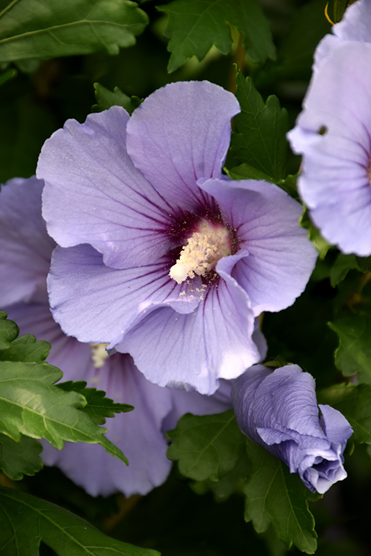 Blue Satin Rose Of Sharon Hibiscus Syriacus Marina In King